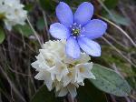 Iedera alba(Dafpne blagayana) si si o Hepatica (transsilvanica sau nobilis)