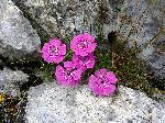 Garofita Pietrei Craiului (Dianthus callizonus)