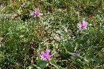 Scaiul de munte - planta medicinala