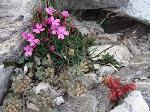 Garofita Pirinului (Dianthus microlepis degeni)