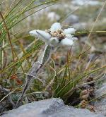 Vata pe bat sau Edelweiss de Pirin (Leontopodium nivale (Ten.) Huet ex Hand.-Mazz.)