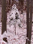 Invelit de mantia alba (20.11.2005)