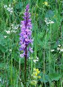 Dactylorhiza Fuchsii - Orchidaceae