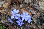 Viorele de aprilie la poalele Vladesei