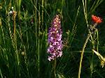 Orhidee de munte