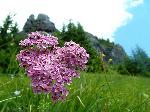 Floarea florilor