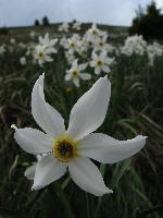 6 petale albe