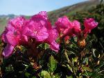 Rododendron de mai