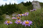 florile Ciucasului 01
