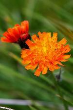 Rusulita - Hieracium aurantiacum -