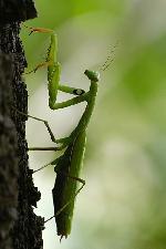 Calugarita - Mantis religiosa -