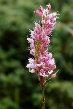 florile Ciucasului 02