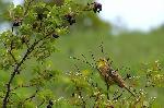 presura galbena (mascul)   - Emberiza citrinella