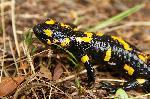 Salamandra - culorile vii sunt un avertisment !
