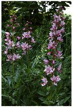 Frasinei  Dictamnus albus -Rutacee-