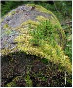 Canva a fost un arbore grozav, silvicultorii l-au taiat, apoi a fost abandonat, cativa puietii au aparut pe el ...