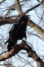 un corb