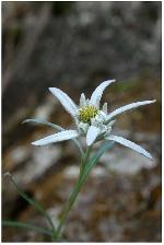 cheile ramet - floare de colt