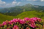 ultimele zile ale rododendronului