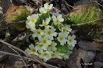 Anglicei (Primule)