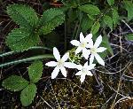 Antericum ramosum