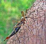 Insecta de Fagaras