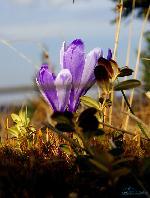 Muntii Gilaului - Crocus heffelianus 04.2010
