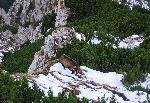 Capre in zona Seii Sudice