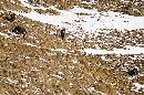 Capre pe versantul nordic al Caraimanului