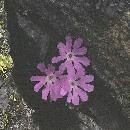 Flori pe creasta Fagarasului