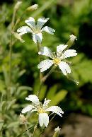Flori albe - inca o necunoscuta d.p.d.v. al denumirii