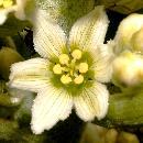 Floare de steregoaie [fost ghintura galbena (Gentiana lutea)]