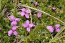Floricele roz