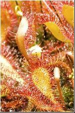 Drosera rotundifolia, sau Roua cerului