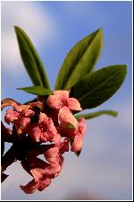 Tulchina (liliac salbatic) - Daphne mezereum