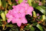 Roz de iunie