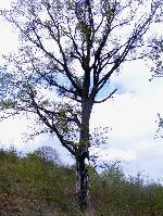 Un copac... trĂŁznet