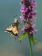 un fluture coada de randunica, pe langa vf. Rosia