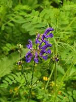 Floare albastra ...