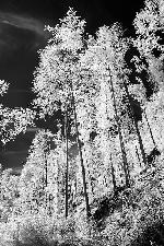 Padurea primavara (infrared)