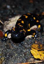 Salamandra pe Valea Vistei