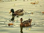 Printre frunzele toamnei pe lacul Ciucas - Tusnad -