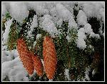 Recomandarea iernii : Conuri cu garnitura de brad si toping de frisca