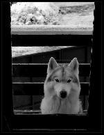 Lupul din Busteni ( loialitate dincolo de fereastra)