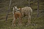 Chimborazo - DouĂŁ alpaca ĂŽn apropiere de Casa CĂłndor