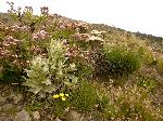 Mount Cameroon - din flora spontanĂŁ ĂŽn anotimpul uscat