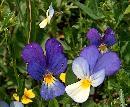 Doua specii ale florii Trei frati patati