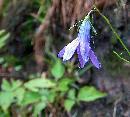 Floare plangatoare