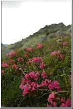 Trandafir de munte