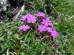 GarofiÞa de stâncã (Dianthus Glacialis)